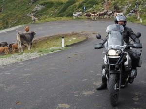 Johan met koeien Italië met Stelvio Motorreizen